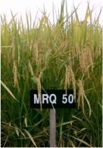 padi-mrq-50