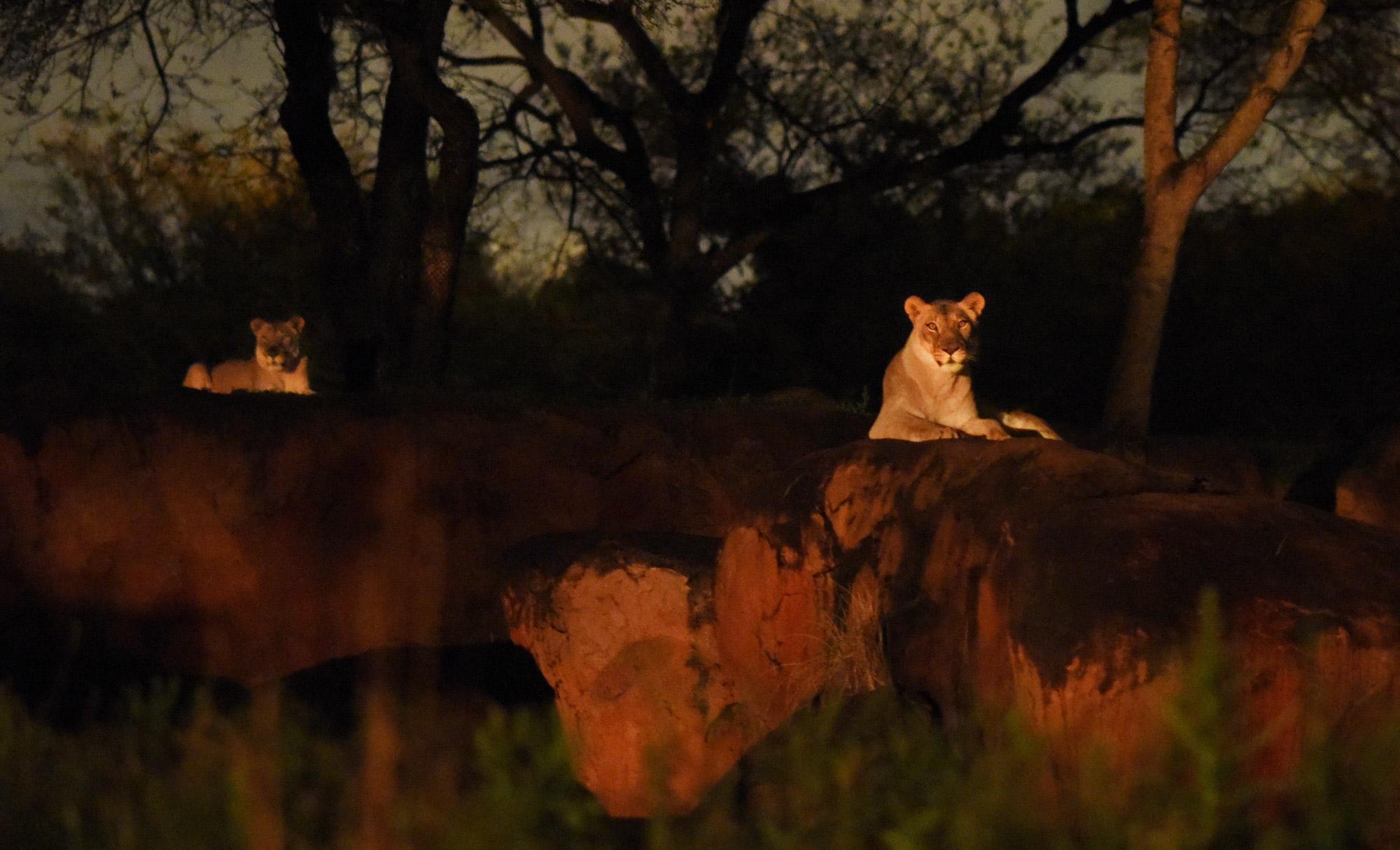 Animal Kingdom S Nighttime Transition To Take Place