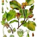 Fagus_sylvatica_-_Köhler–s_Medizinal-Pflanzen-060
