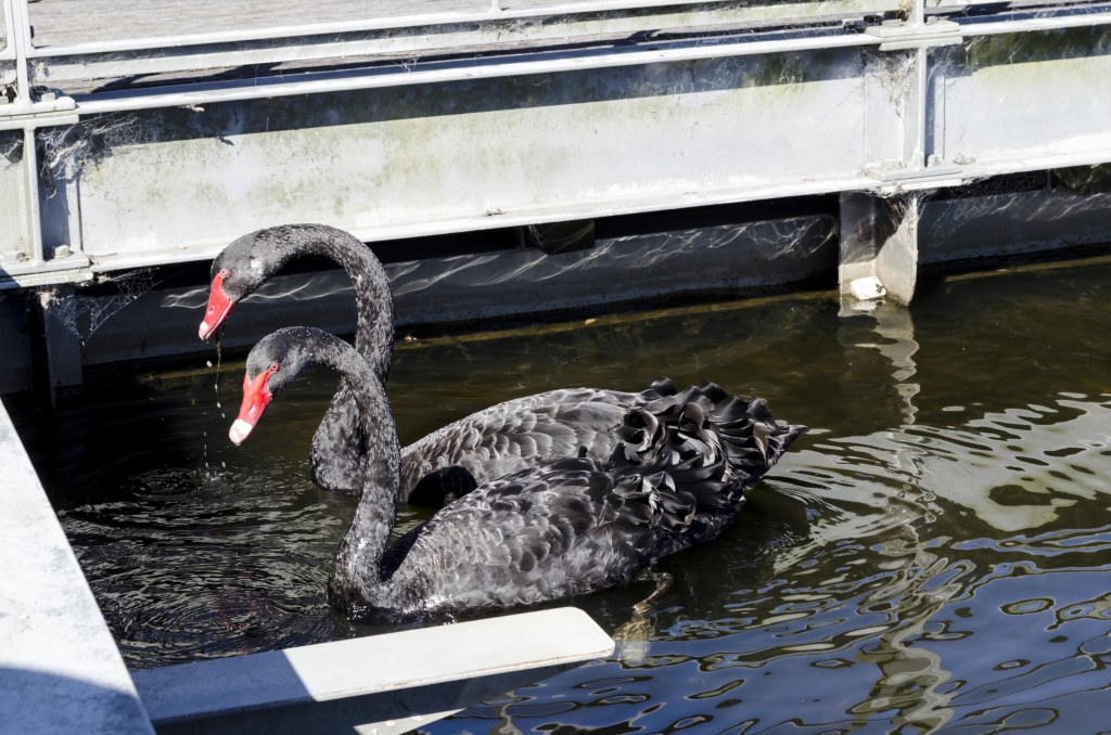 black swans in the bottom pond