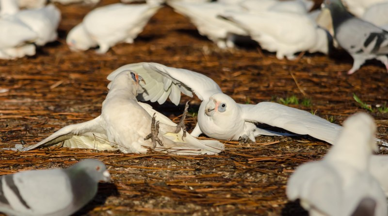 brids, playing, corella, sunrise, corellas