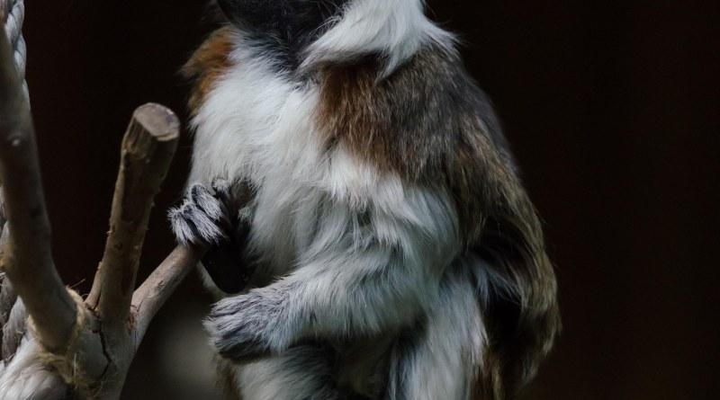 Symbio Zoo, Monkey