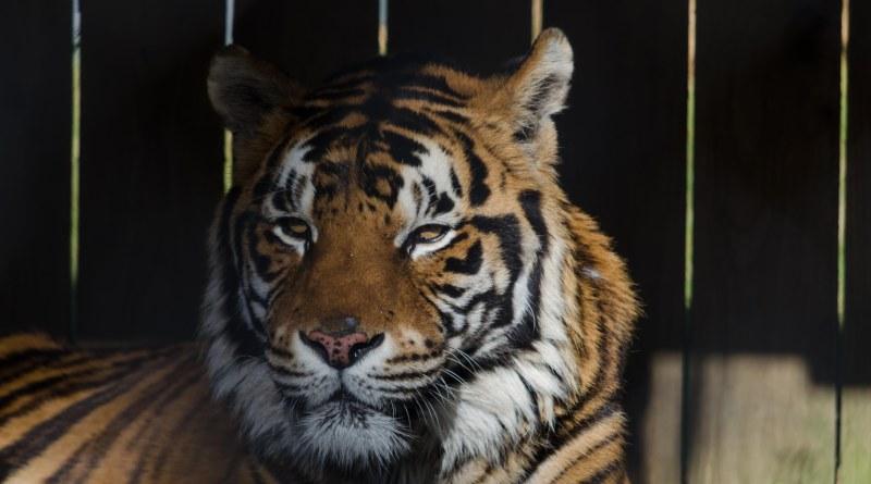 Sumatran tiger, Symbio Zoo, wildlife park