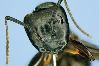 Carpenter Ant Face