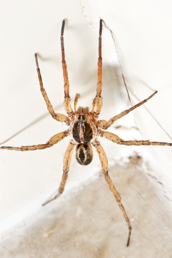 How Much Is Pest Control >> Brown Recluse Or Wolf Spider? | Pest Control and Bug Exterminator Blog