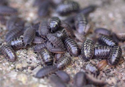 5 Fun Facts About Pillbugs Pest Control And Bug