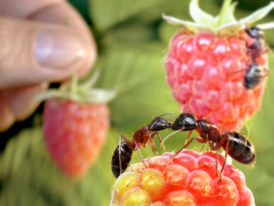 Ants on raspberries
