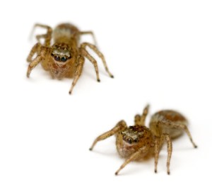 Two Jumping Spiders