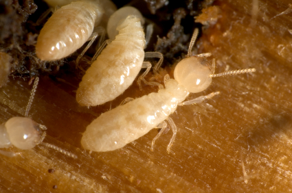 Closeup on termites going in and out of their tunnel