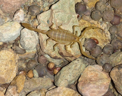 scorpion_on_rocks