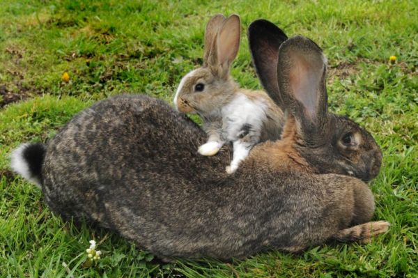 世界最大的兔子