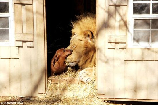 公獅與臘腸狗