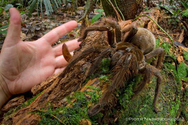 南美蓋亞那雨林吃鳥的 Theraphosa blondi 蜘蛛