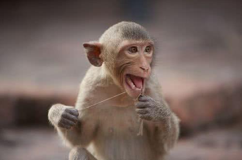泰國長尾獼猴用從遊客頭上拔下來的頭髮剔著牙齒