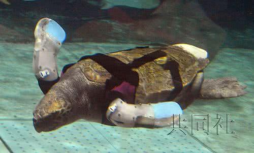鰭殘缺海龜成功安裝人造鰭