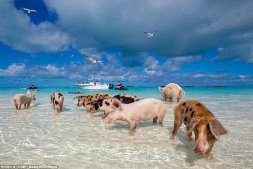 巴哈馬無人島的豬隻