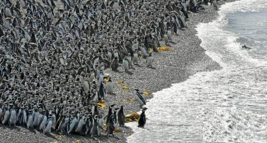 麥哲倫企鵝