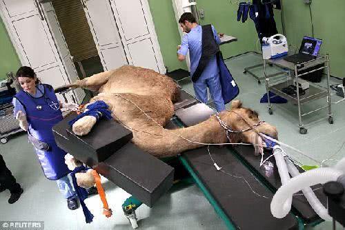 杜拜駱駝醫院