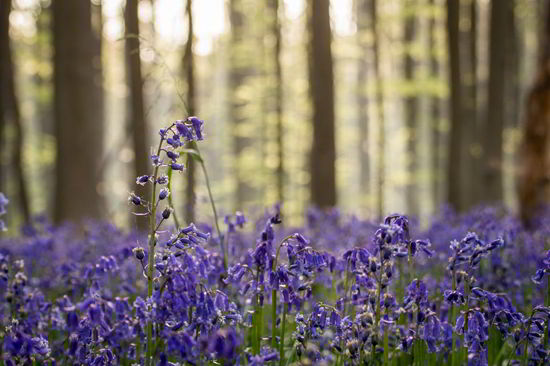 比利時「藍森林」