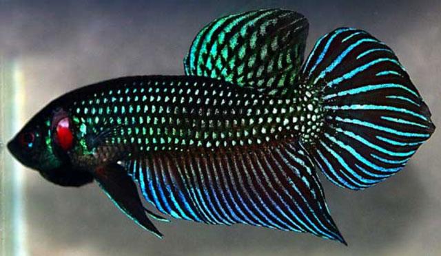 7 Harga Ikan Cupang Termahal Cocok Untuk Bisnis Atau Dipelihara
