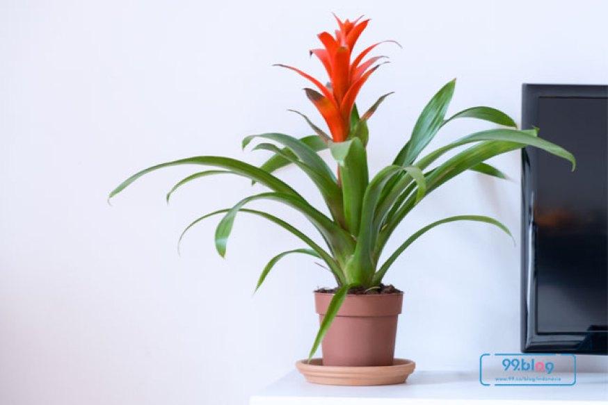 Tanaman Bromeliad