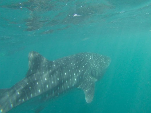 Whale shark from back