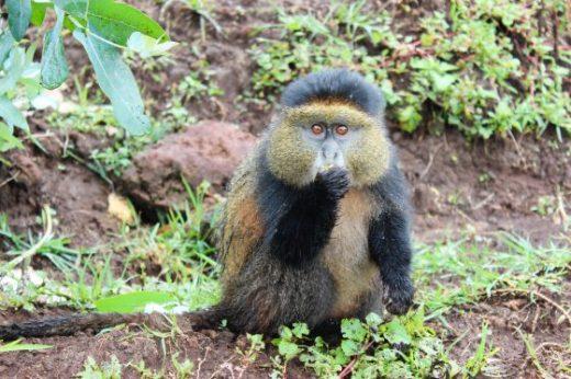 Golden Monkey's Rwanda