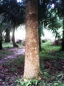 Batang pohon jati putih. foto dokpri.