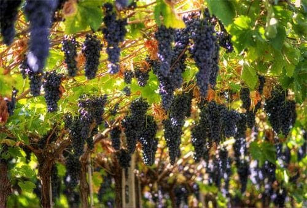 sagra uva marino 1-2.jpg