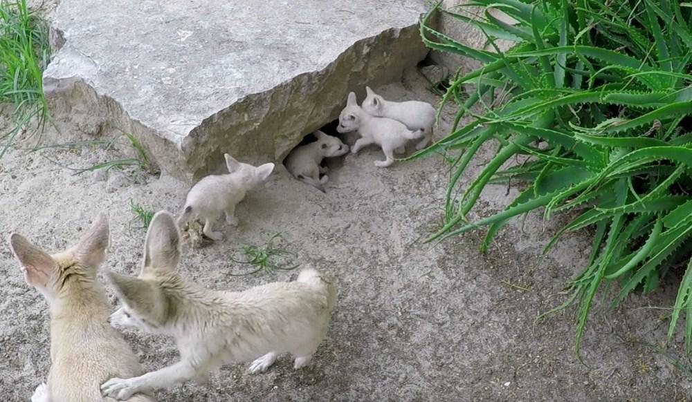 Fennec_mamma con 4 cuccioli_001