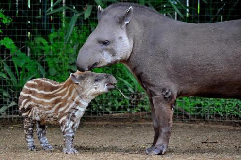 MDG_4751 tapiri