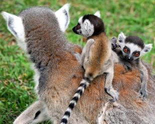 MDG_5203 lemuri catta