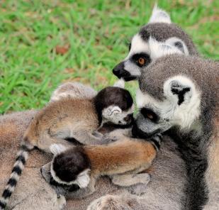 MDG_5206 lemuri_famigl