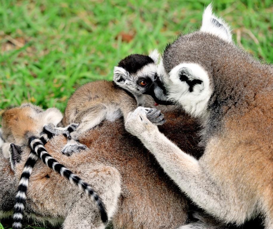 MDG_5207 lemuri catta