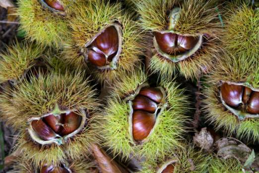 Chestnuts in their husks (Castanea sativa), Fagaceae, Garfagnana, Tuscany, Italy.