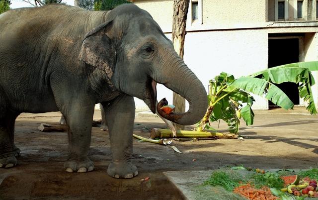 Pasto_elefante asiatic