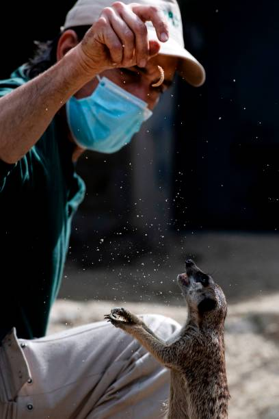 Italian zoo caretaker Daniele, wearing a face mask, feeds a suricate with worms on April 23, 2020 at the Rome zoo (Bioparco di Roma) during the country's lockdown aimed at curbing the spread of the COVID-19 infection, caused by the novel coronavirus. (Photo by Tiziana FABI / AFP) (Photo by TIZIANA FABI/AFP via Getty Images)