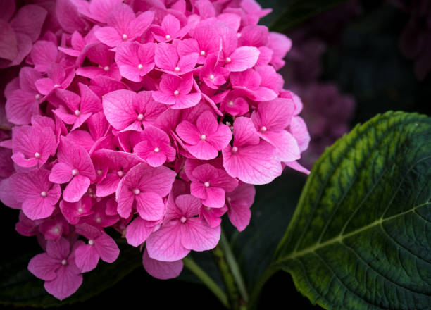 A Single Vibrant Pink Hydrangea Flower Head in Full Bloom in a Garden