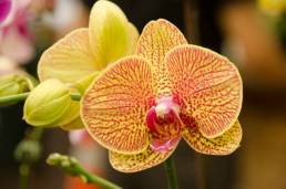 Beautiful phalaenopsis moth orchid, close-up