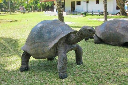 tartarughe-seychelles-giganti-curieuse-island-grande