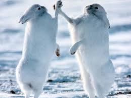 Hares high-fiving after eating a lynx? :)