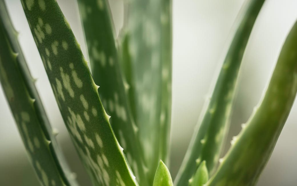 fresh green leaves of potted aloe vera