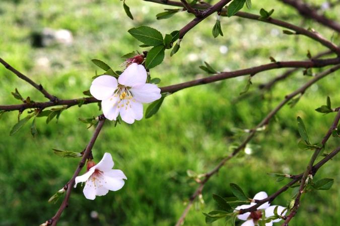 flores-de-almendro-img_4045.JPG