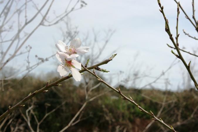 flores-de-almendro-img_4082.JPG