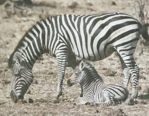 Waldner Zebra
