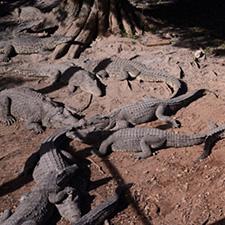 Cuban Crocodiles feature