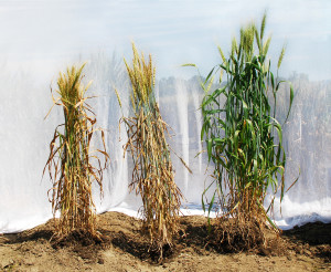 A comparison of experimental wheat lines showing different levels of resistance to the disease spot blotch. Source: https://www.flickr.com/photos/cimmyt/6508078617