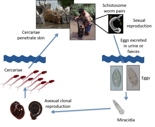 small resolution of african schistosomiasis lifecycle