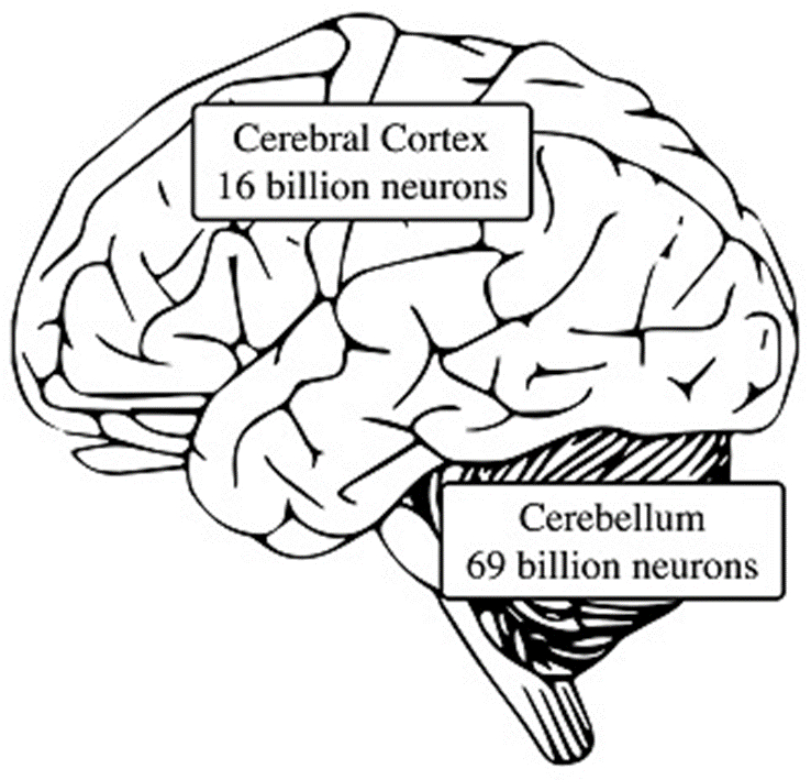 The prominent role of the cerebellum in the development of
