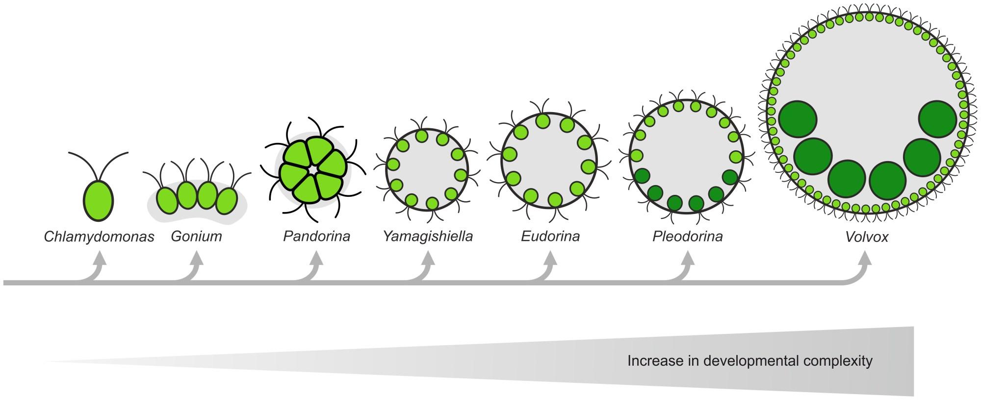 hight resolution of rough approximation of the evolution of volvocine green algae